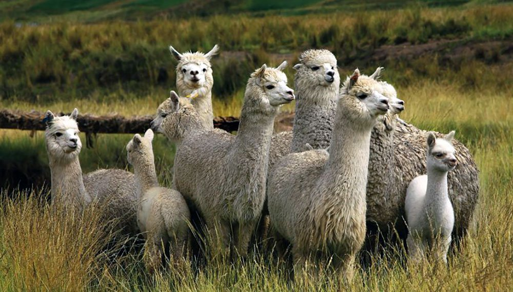 Top 6 Differences Between Llamas And Alpacas