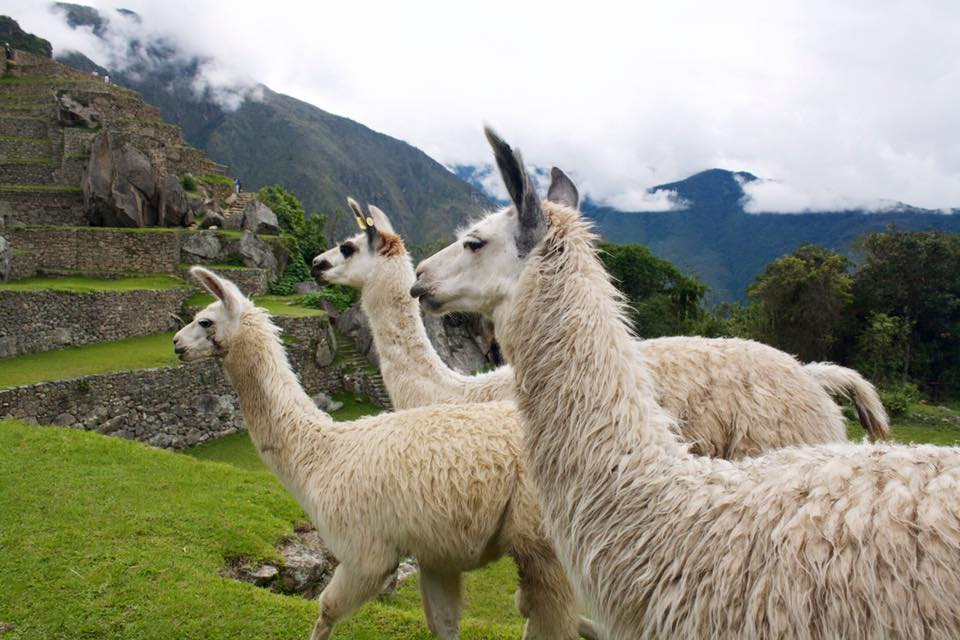 Top 6 differences between Llamas and Alpacas